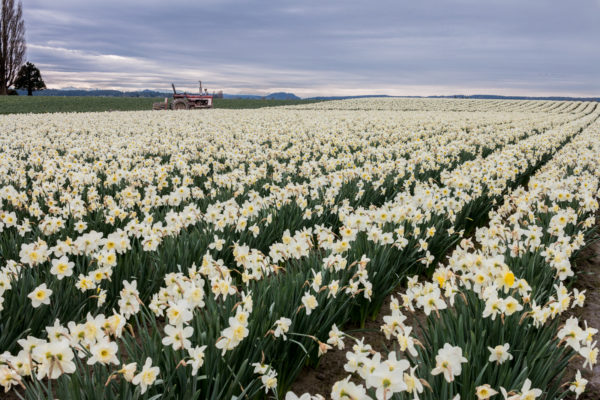 Wedding Flower Choices - March Daffodils , flower fields, white and yellow, tractor, landscape.