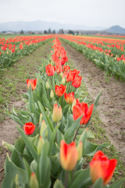A row of red tulips in a field in Mt. Vernon Washington, Wedding Flower Choices-April, pink, peach tulips, peony, wedding blog