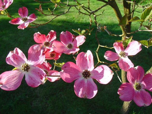 Pink Blooming Dogwood tree, Wedding Flower Choices-May, wedding blog