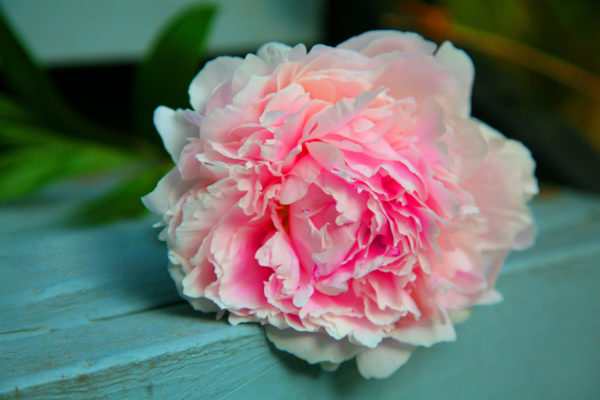 Full bloom pink peony on garden bench