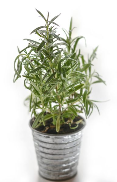 Rosemary plant in metal pail